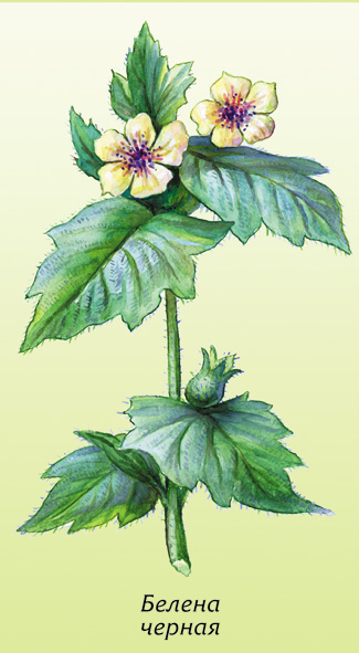 Пифенион белена - растение Пифий АЛАНИЯ  - 6.jpg